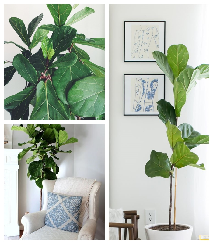 interior inspiration geigenfeige ficus lyrata. Black Bedroom Furniture Sets. Home Design Ideas