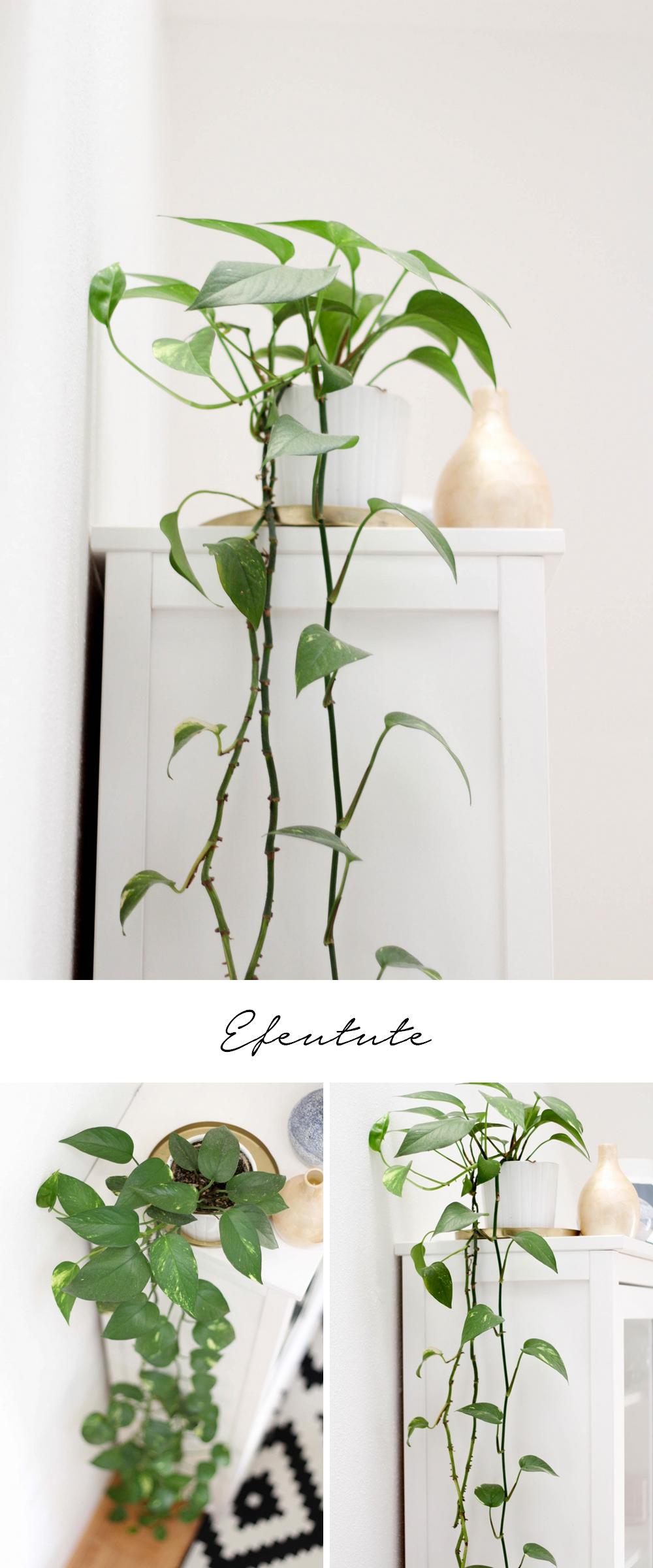 5 pflegeleichte Zimmerpflanzen und meine neuen Blumentöpfe aus der Zalando Lounge: Efeutute